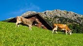image of dairy barn  - Cows eating in front of a barn alpine scene - JPG