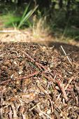 image of fire ant  - ant colony as nice natural insect background - JPG