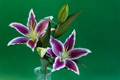 picture of stargazer-lilies  - Stargazer Lily flowers in a vase with green background - JPG