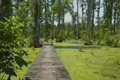 stock photo of bayou  - A boardwalk across the swamp at Cypress Gardens in South Carolina - JPG