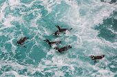stock photo of ica  - Humboldt penguins swimming in the peruvian coast at Ica Peru - JPG