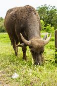 picture of female buffalo  - The Buffalo graze in thailand in asia - JPG
