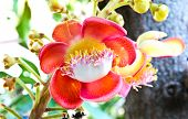 stock photo of cannonball  - A flower from the unusual cannonball tree  - JPG