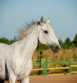 stock photo of dapple-grey  - gray horse close up running in nature - JPG