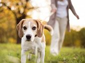 picture of dog-walker  - Senior woman walking her beagle dog in countryside