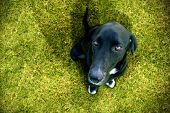 image of average looking  - The subject of the image is an obedient black dog looking at you on a green meadow - JPG