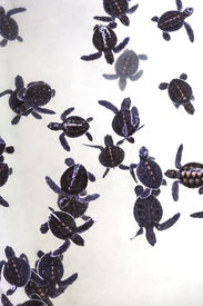 stock photo of hatcher  - A group of baby sea turtles in sanctuary - JPG