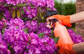 stock photo of aphid  - Protecting azalea plant from fungal disease or aphid - JPG