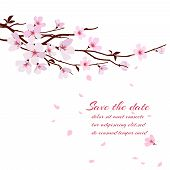 stock photo of sakura  - Cherry blossom - JPG