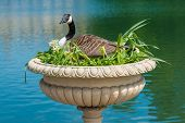 stock photo of mother goose  - Canadian Goose nesting in decorative vase near a lake - JPG