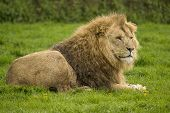 picture of rainy day  - Large male lion in resting the grass on a rainy day - JPG