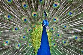 image of pheasant  - Picture of peacock showing off her tail - JPG