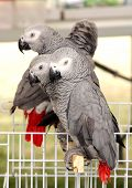 image of parrots  - African Grey Parrot Also Known As Grey Parrot Are One Of The Most Intelligent Birds In The World - JPG