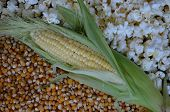stock photo of corn-silk  - A stalk of corn with an opened hull lies between popcorn and popping kernels - JPG