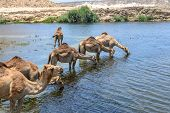 stock photo of dromedaries  - Dromedaries drinking at Wadi Darbat with cliffs Taqah  - JPG