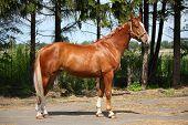 foto of chestnut horse  - Chestnut horse standing near the forest in summer - JPG
