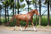 picture of chestnut horse  - Chestnut horse trotting on the road leading to farm - JPG