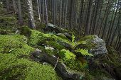 foto of irish moss  - Mysterious beautiful pinewood forest with mossy stones - JPG