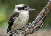 image of kookaburra  - closeup portrait of a laughing kookaburra bird perched on a branch - JPG