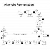 stock photo of fermentation  - Chemical scheme of alcoholic fermentation metabolic pathway 2d illustration on white background - JPG