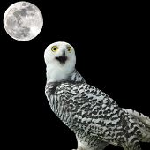 stock photo of snow owl  - snow owl and the moon at night - JPG