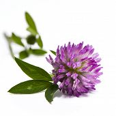 foto of red clover  - A closeup of the blossom of a red clover - JPG