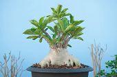 stock photo of desert-rose  - Adenium obesum tree or Desert rose in flowerpot - JPG