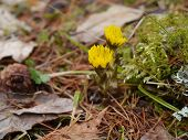 picture of butterbur  - yellow flowering coltsfoot flowers in spring with foliage - JPG