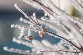 stock photo of wispy  - Berries on a branch that are covered in wispy frost.
