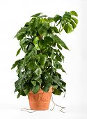 pic of epiphyte  - Leafy green delicious monster plant in a terracotta flowerpot growing up a central stake for indoor or patio decor as an ornamental foliage plant over white - JPG
