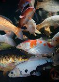 foto of koi fish  - Different colorful koi fishes swimming in aquarium - JPG