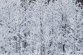 picture of winter trees  - Winter trees background - JPG