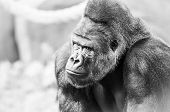 pic of terrestrial animal  - Black and White Portrait of Gorilla - JPG