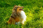 picture of sheltie  - Sheltie dog breed posing outdoors on a green lawn on a sunny day - JPG