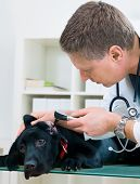 pic of otoscope  - veterinarian doctor making a checkup of a puppy labrador retriever - JPG