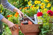 pic of horticulture  - Gardeners hand planting flowers in pot with dirt or soil - JPG