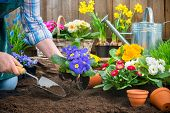 picture of horticulture  - Gardeners hands planting flowers in pot with dirt or soil at back yard - JPG
