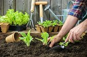 image of plant pot  - Farmer planting young seedlings of lettuce salad in the vegetable garden - JPG