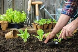 image of humus  - Farmer planting young seedlings of lettuce salad in the vegetable garden - JPG