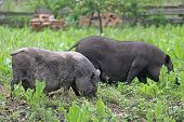 pic of pot bellied pig  - Two pot - JPG