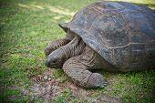 image of tortoise  - Aldabran seychelles giant tortoise - JPG