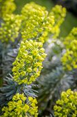 image of lime-blossom  - Yellow to lime green Euphorbia in the garden - JPG