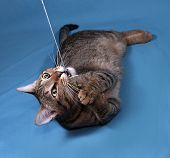 stock photo of blue tabby  - Tabby nice cat playing on blue background - JPG