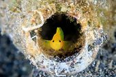 picture of discard  - A Goby in a discarded glass bottle on the seabed - JPG