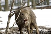 picture of javelina  - Wild peccary bites branch - JPG
