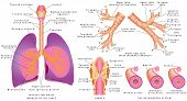 pic of larynx  - Human trachea and bronchi - JPG