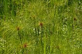 stock photo of marsh grass  - Cyperus papyrus tropical decorative grass in the park - JPG