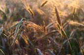 image of grown up  - close up of beautiful grown up rye ears in sunset light - JPG