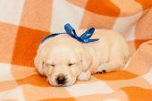 stock photo of sleepy  - adorable yellow sleepy labrador puppy on plaid background - JPG