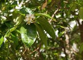 picture of lime-blossom  - Orange blossom - JPG